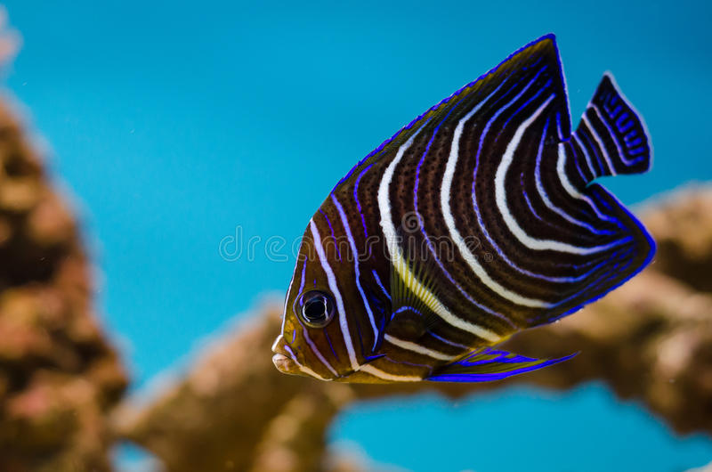 Emperor angelfish. Pomacanthus imperator- Emperor angelfish in a tank stock image