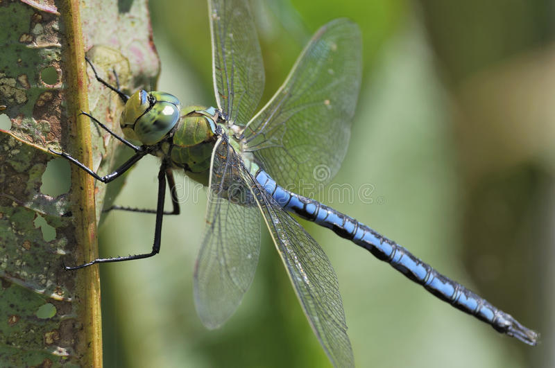 Emperor Dragonfly - Anax imperator stock photo