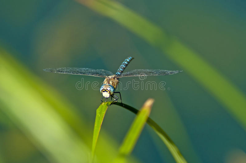 Download Emperor Dragonfly, Anax Imperator Royalty Free Stock Photos - Image: 26652768