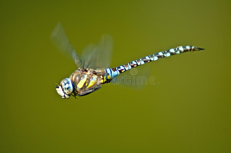 Emperor Dragonfly, Anax imperator royalty free stock photos
