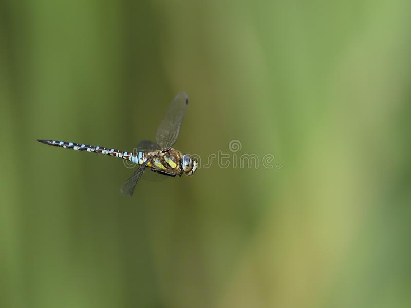 Emperor dragonfly, Anax imperator royalty free stock image