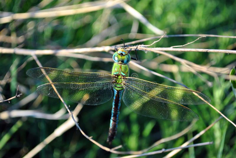 Emperor dragonfly or blue emperor Anax imperator male sitting on dry twigs royalty free stock photos