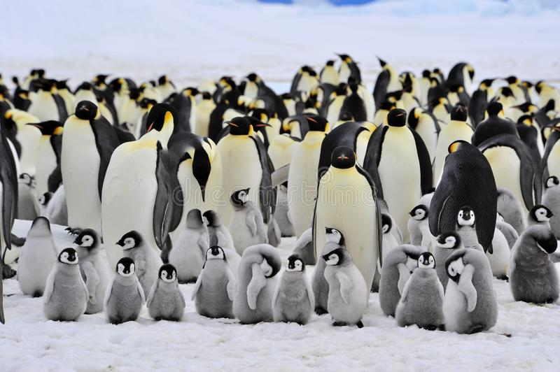 Download Emperor Penguin stock photo. Image of chick, cold, water - 16891222