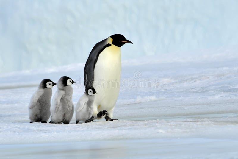 Emperor Penguin. With chicks Snow Hill, Antarctica 2010 on the icebreaker Kapitan Khlebnikov