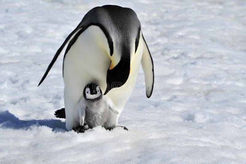 Emperor Penguin. With chick Snow Hill, Antarctica 2010 on the icebreaker Kapitan Khlebnikov