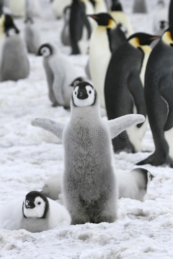 Download Emperor Penguin (Aptenodytes Forsteri) Stock Photo - Image: 10519508