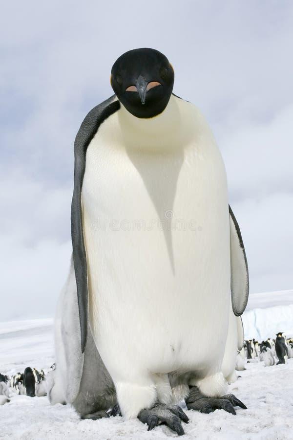 Emperor Penguin (Aptenodytes Forsteri) Stock Photos