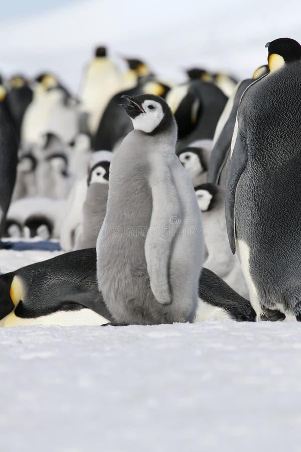 Download Emperor Penguin (Aptenodytes Forsteri) Stock Photo - Image: 10523234