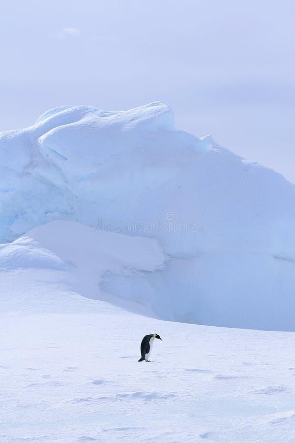Download Emperor Penguin (Aptenodytes Forsteri) Stock Image - Image: 10523273