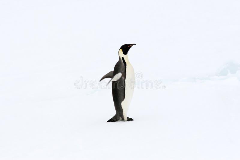 Download Emperor Penguin (Aptenodytes Forsteri) Stock Photo - Image of antarctica, aptenodytes: 10523314