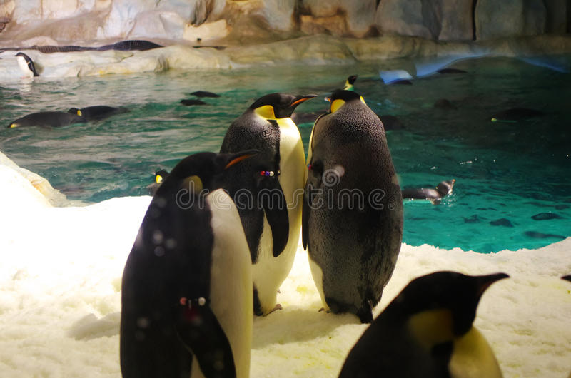 Emperor penguin royalty free stock images