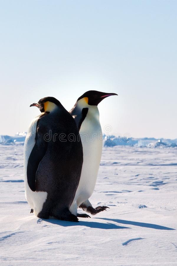 Emperor penguin chick.Walking in the snow on a sunny day. Close-up royalty free stock photo