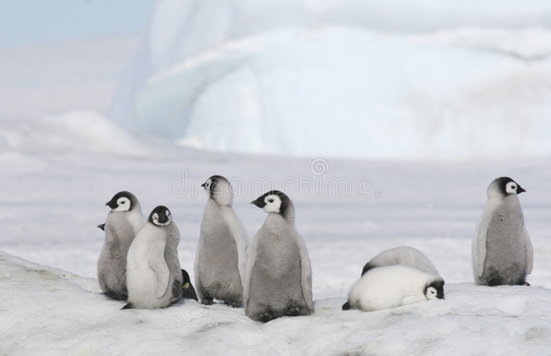Download Emperor penguin chicks stock photo. Image of wildlife - 8995250