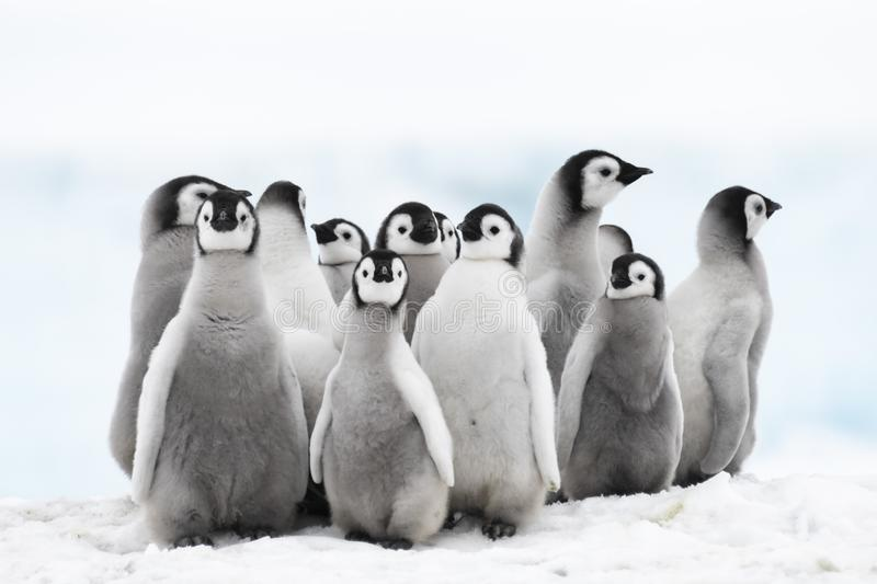 Emperor Penguin chicks on the ice royalty free stock photos