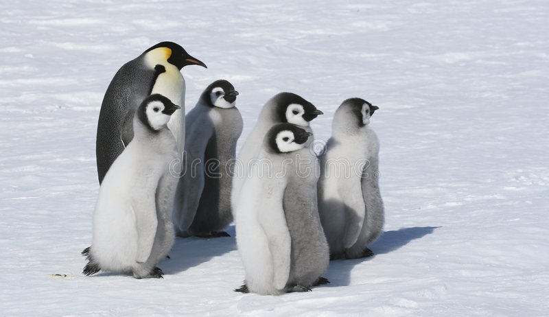 Emperor penguin family. Standing on the snow