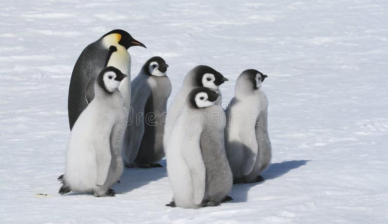 Emperor penguin family royalty free stock photo