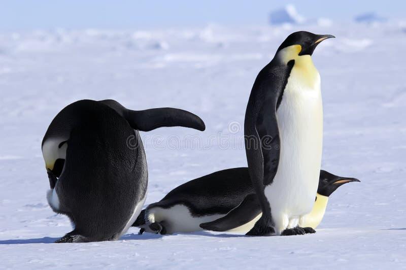Emperor penguin group royalty free stock photos