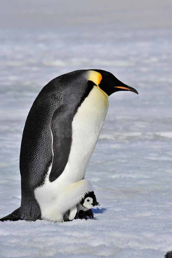 Emperor Penguin. Protecting chick from the Cold stock image
