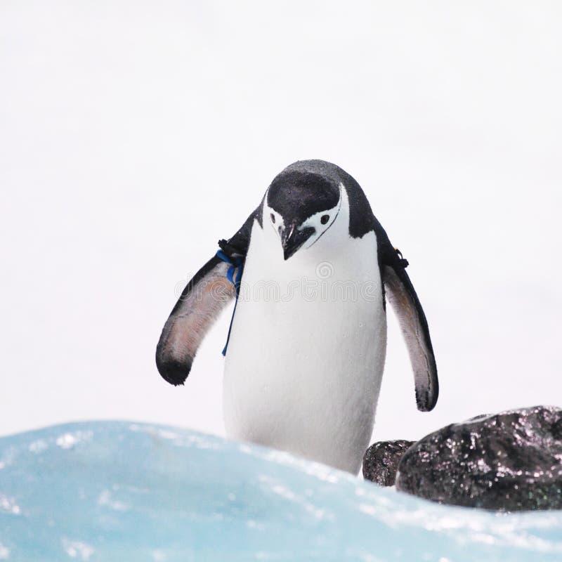 Emperor penguin stock images