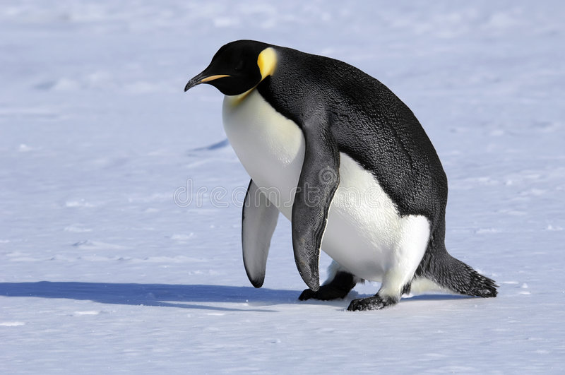 Emperor penguin stands up royalty free stock photo