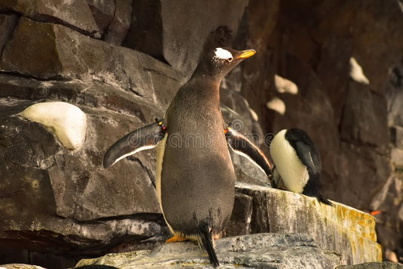 Emperor Penguin unfolding the wings at Seaworld. In this attraction, guest can see five spec. Orlando, Florida. September 21, 2018. Emperor Penguin unfolding the stock image