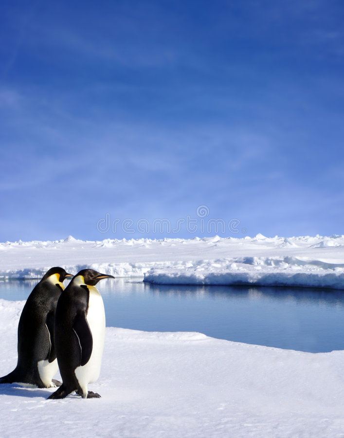 Emperor penguins. Beautiful scenic image of two penguins in Antarctica royalty free stock photos