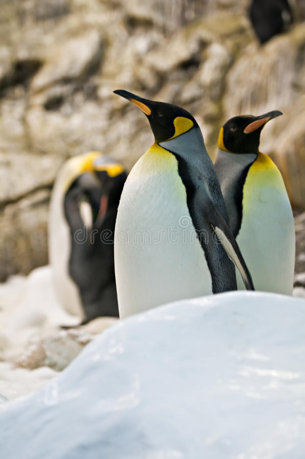 Download Emperor Penguins Stock Photography - Image: 24718592