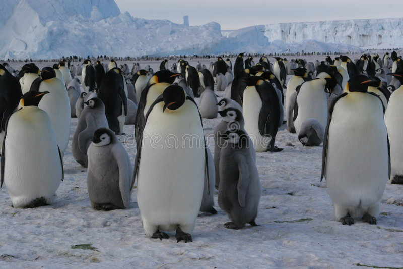 Emperor penguins stock images