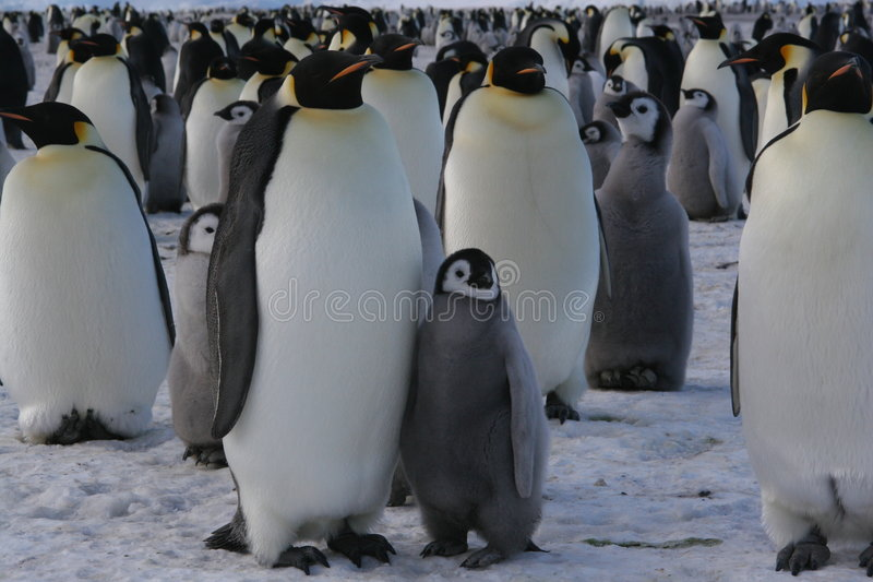 Emperor Penguins royalty free stock images