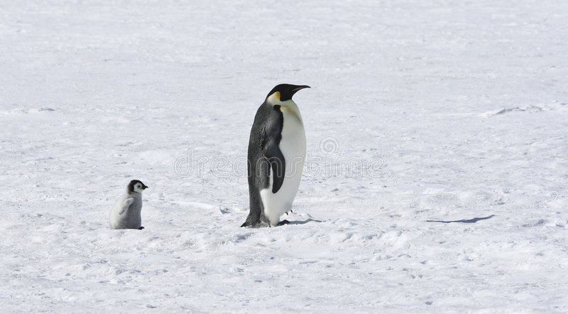 Download Emperor Penguins Stock Photography - Image: 8888862