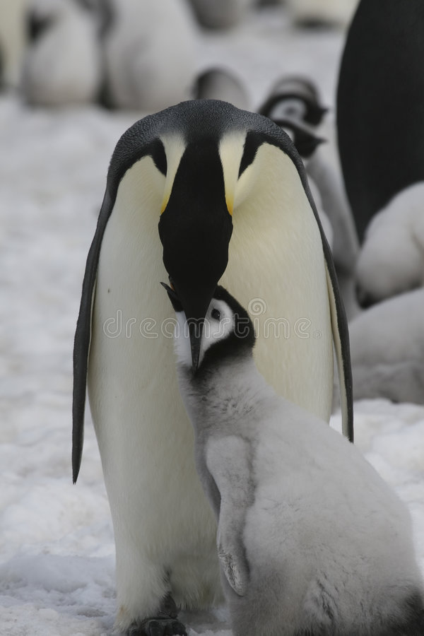 Download Emperor penguins stock photo. Image of pole, forsteri - 8889298