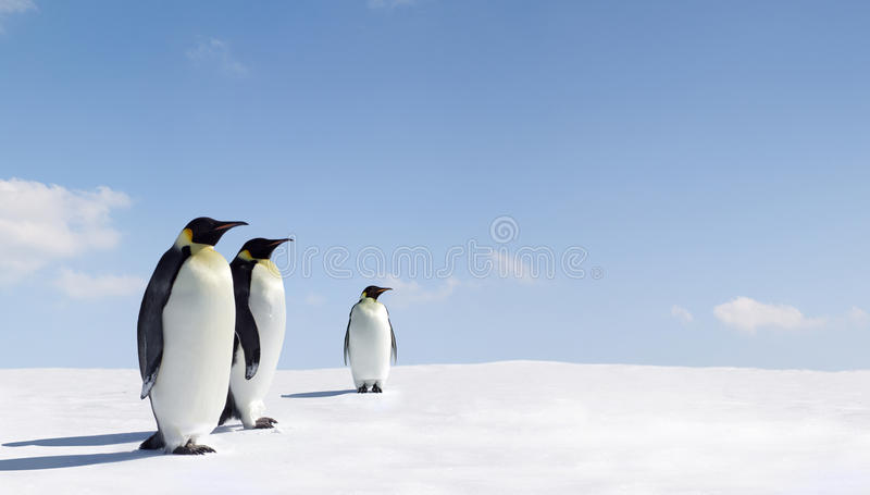 Emperor penguins royalty free stock image