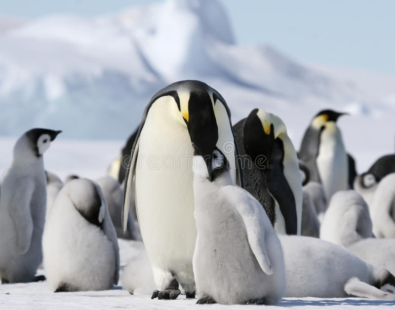 Download Emperor Penguins (Aptenodytes Forsteri) Royalty Free Stock Photography - Image: 10515087