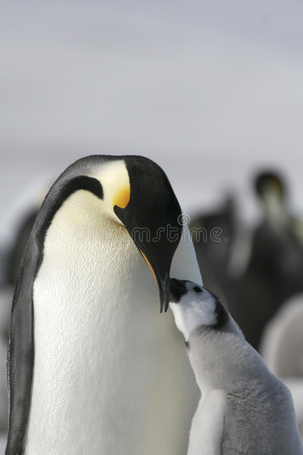 Download Emperor Penguins (Aptenodytes Forsteri) Stock Photography - Image: 10515142