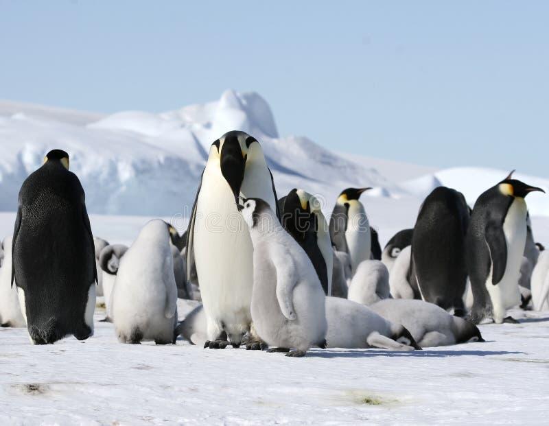 Download Emperor Penguins (Aptenodytes Forsteri) Stock Image - Image: 10515211