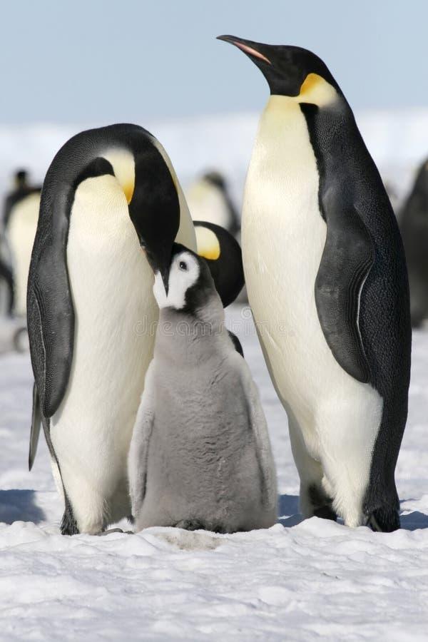 Download Emperor Penguins (Aptenodytes Forsteri) Stock Image - Image: 10515271