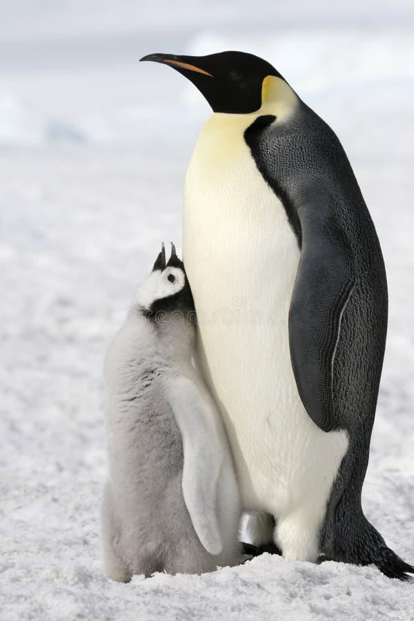Emperor Penguins (Aptenodytes Forsteri) Stock Photography