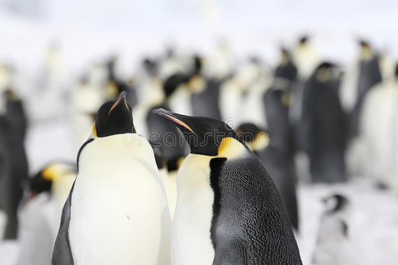 Download Emperor Penguins (Aptenodytes Forsteri) Stock Image - Image of winter, penguin: 10515427