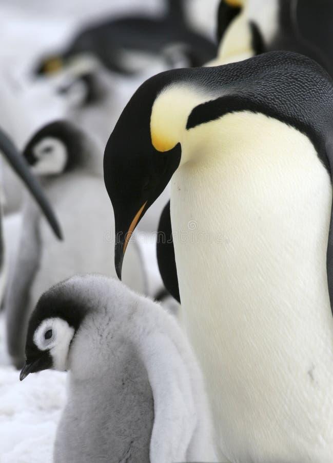 Download Emperor Penguins (Aptenodytes Forsteri) Stock Photo - Image: 10523180