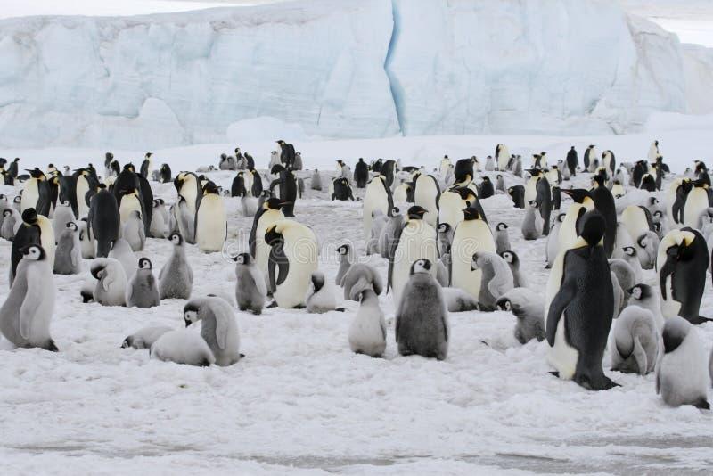 Download Emperor Penguins (Aptenodytes Forsteri) Stock Photography - Image: 10523182