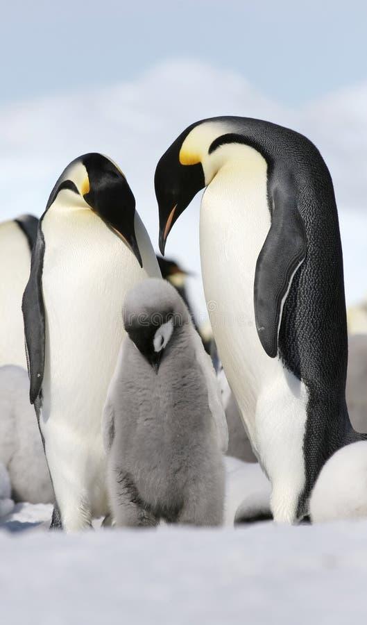 Download Emperor Penguins (Aptenodytes Forsteri) Royalty Free Stock Photo - Image: 10523205