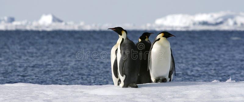 Download Emperor Penguins (Aptenodytes Forsteri) Stock Photography - Image: 10523672
