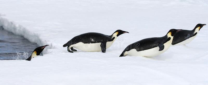 Download Emperor Penguins (Aptenodytes Forsteri) Stock Photo - Image: 10523874