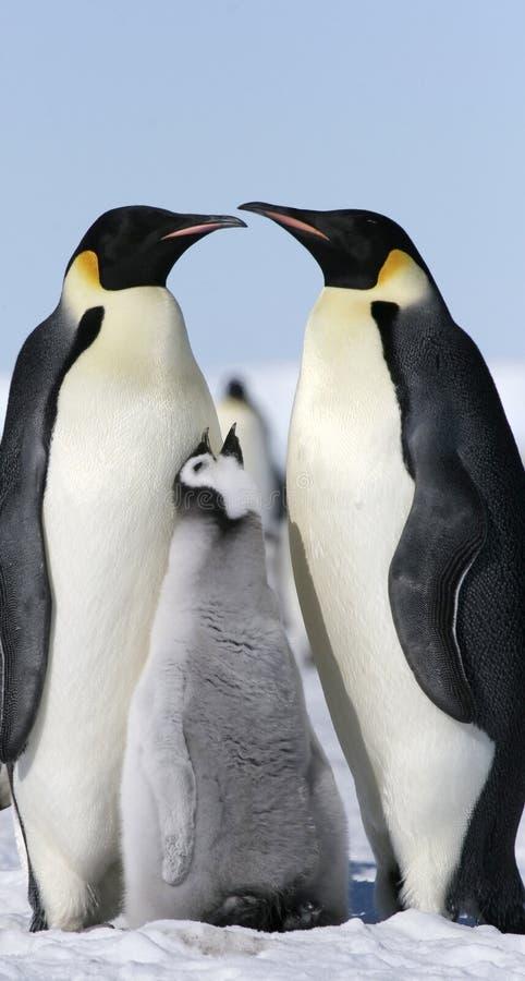 Download Emperor Penguins (Aptenodytes Forsteri) Stock Images - Image: 10528824