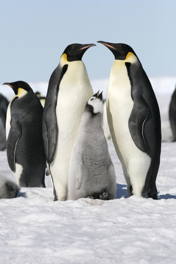 Download Emperor Penguins (Aptenodytes Forsteri) Stock Photos - Image: 10855343