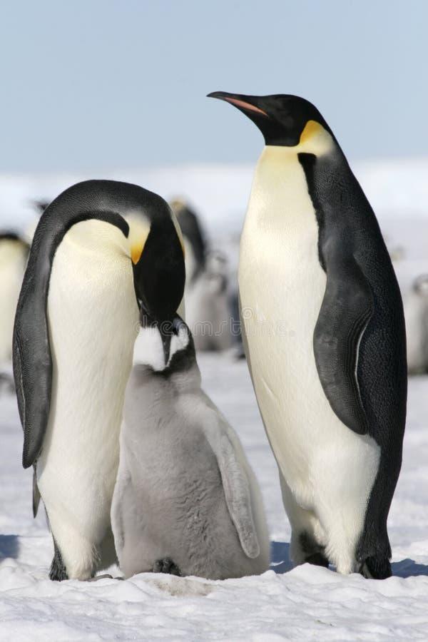 Download Emperor Penguins (Aptenodytes Forsteri) Stock Photography - Image: 10855352