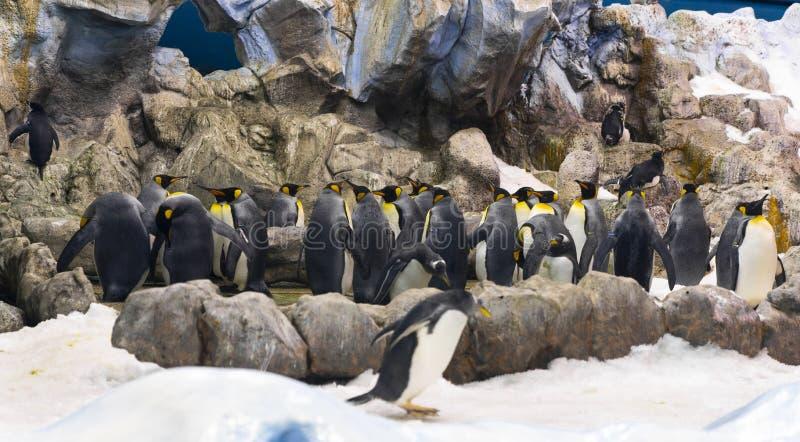 Emperor Penguins at the Planet Penguin Aquarium, Loro Parque, Tenerife, Canary Islands, Spain. Emperor Penguins Aptenodytes patagonicus at the Planet Penguin stock images