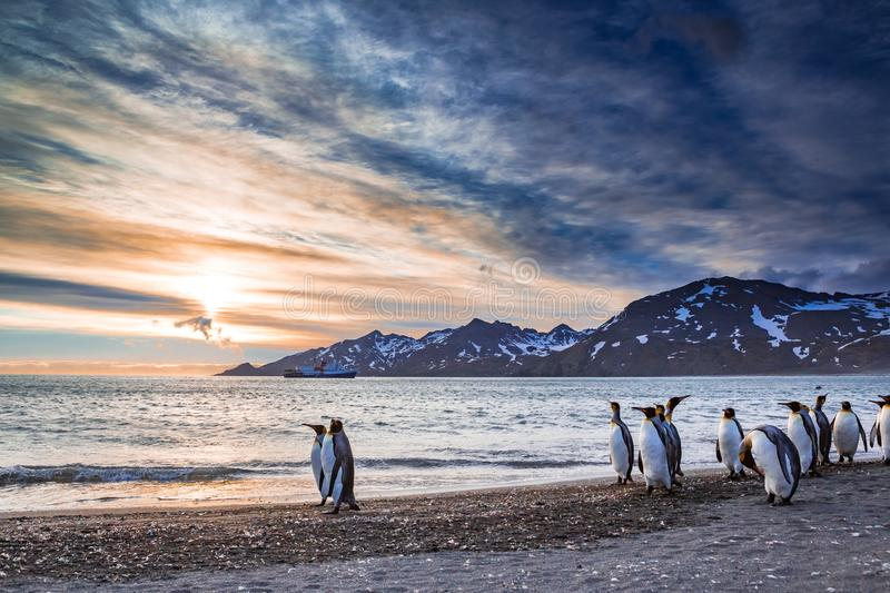 Emperor penguins walk on water`s edge on St Andrews Bay royalty free stock image