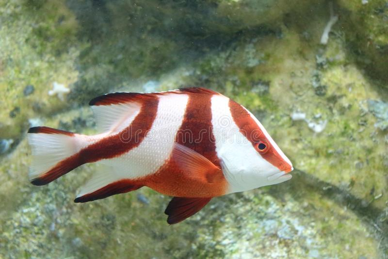 Emperor red snapper in aquarium. The image of the beautiful emperor red snapper in local aquarium stock photography