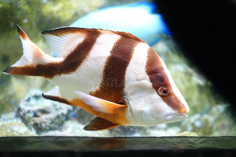 Emperor red snapper. The emperor red snapper, Lutjanus sebae, is a species of snapper native to the Indian Ocean and the western Pacific Ocean. This species is stock photography